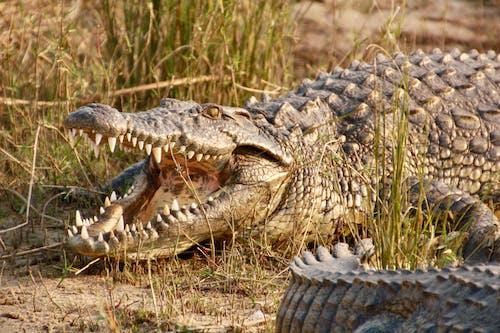 Brown Crocodile on Green Grass