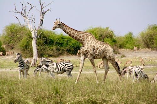 Free stock photo of giraffe, savannah, zebra