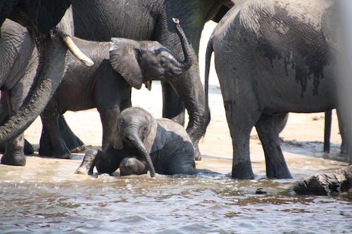 Free stock photo of baby elephant, elephants, herd