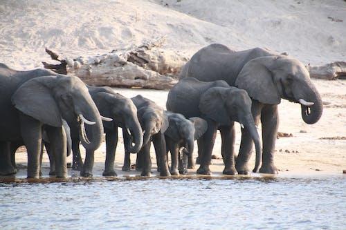 Free stock photo of elephants, watering hole