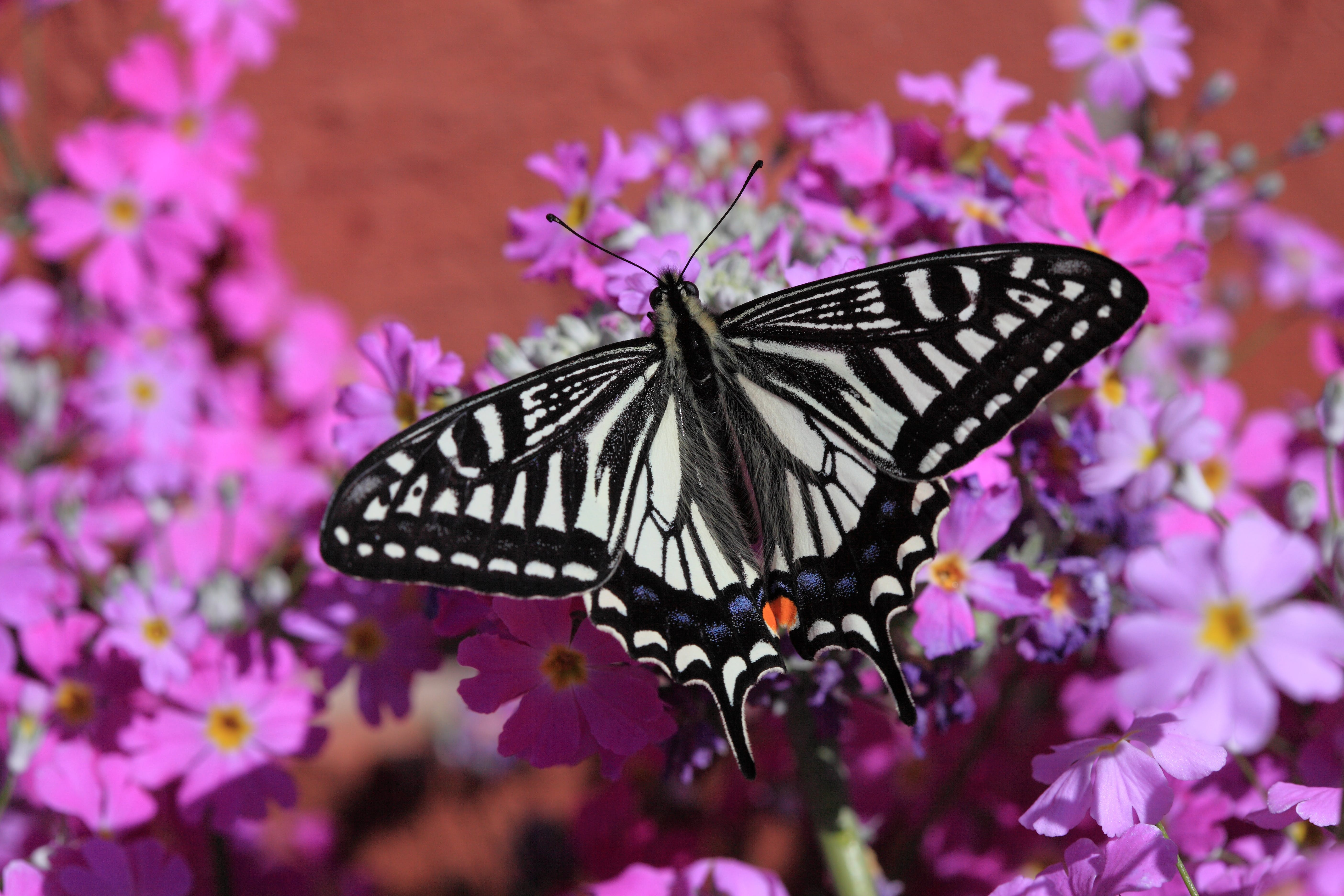 White and Black Butterfly on Pink White and Yellow Flowers