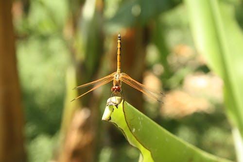 昆蟲, 蜻蜓 的 免费素材照片
