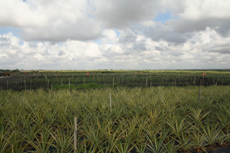 Free stock photo of farm, pineapple