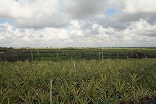 Ananas, Çiftlik içeren Ücretsiz stok fotoğraf