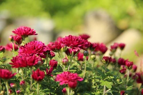 Free stock photo of beautiful, blossoms, bordo