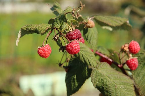 Free stock photo of berry, bush, edible
