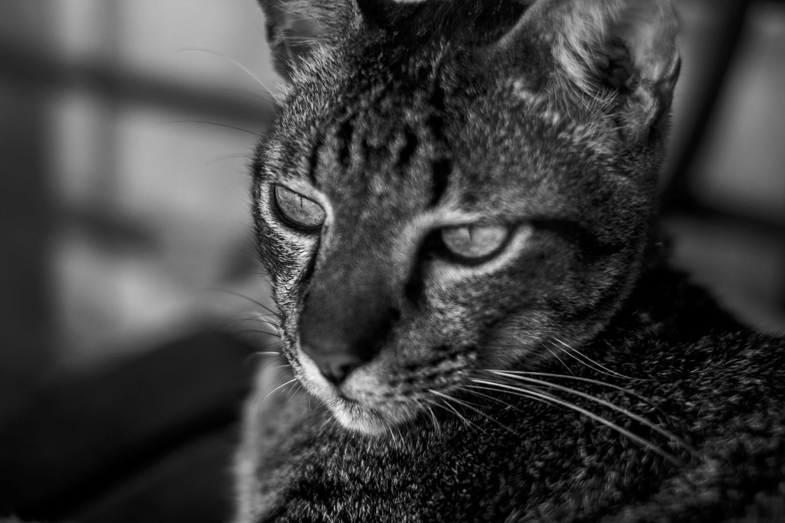 Monochrome Photo of Cat