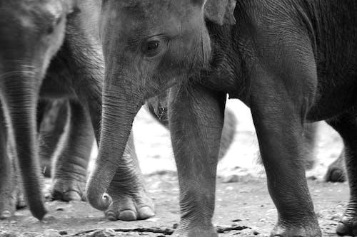 Free stock photo of animal, elephants, sri lanka
