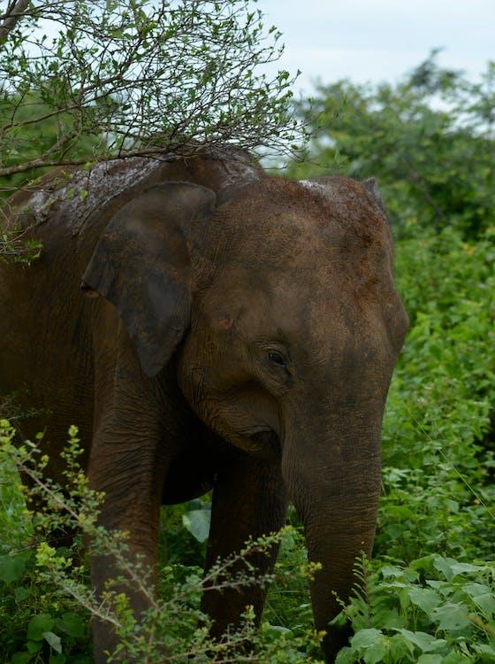 Free stock photo of elephant, sri lanka, vishnu vasu