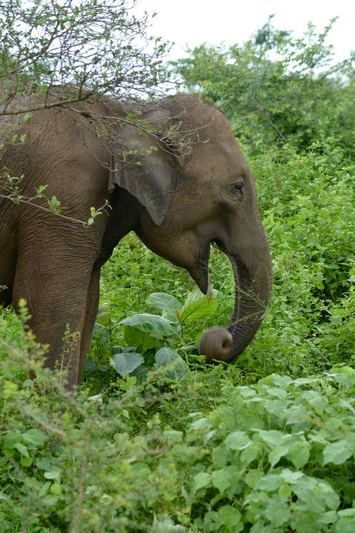Free stock photo of elephant, sri lanka, udawalawa