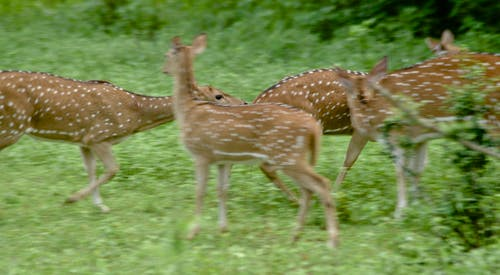 Free stock photo of deers, sri lanka, vishnu vasu