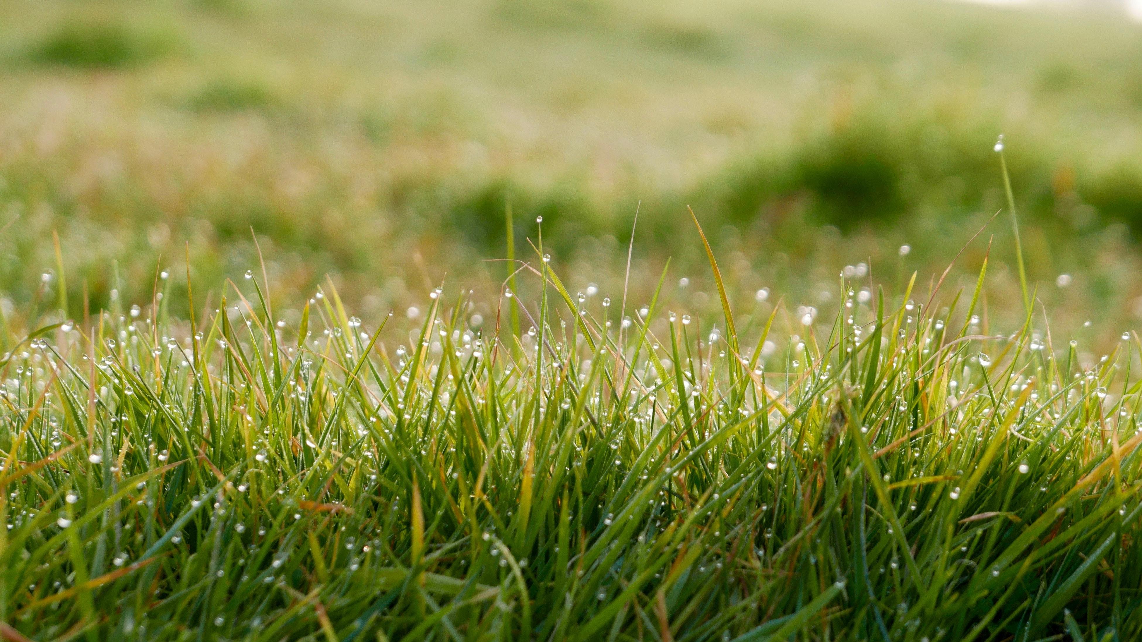 semence herbe