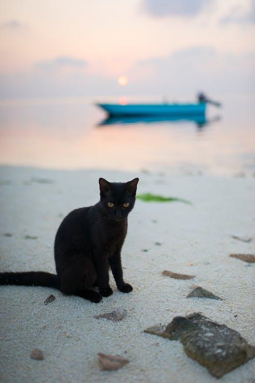 검은 고양이, 고양이, 몰디브, 보트의 무료 스톡 사진