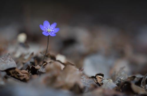 간장, 꽃, 노루귀, 파란색 anemorte의 무료 스톡 사진