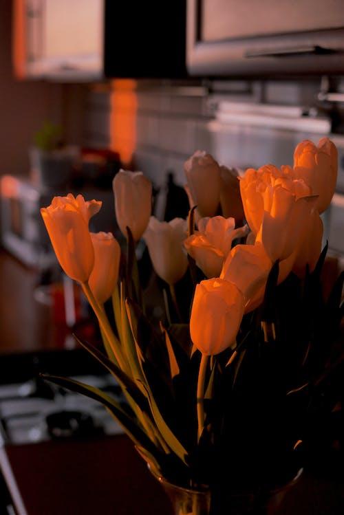 Tender tulips in vase in evening room