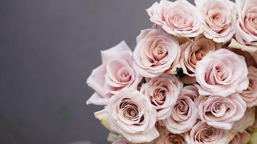 Pink tender roses against gray background
