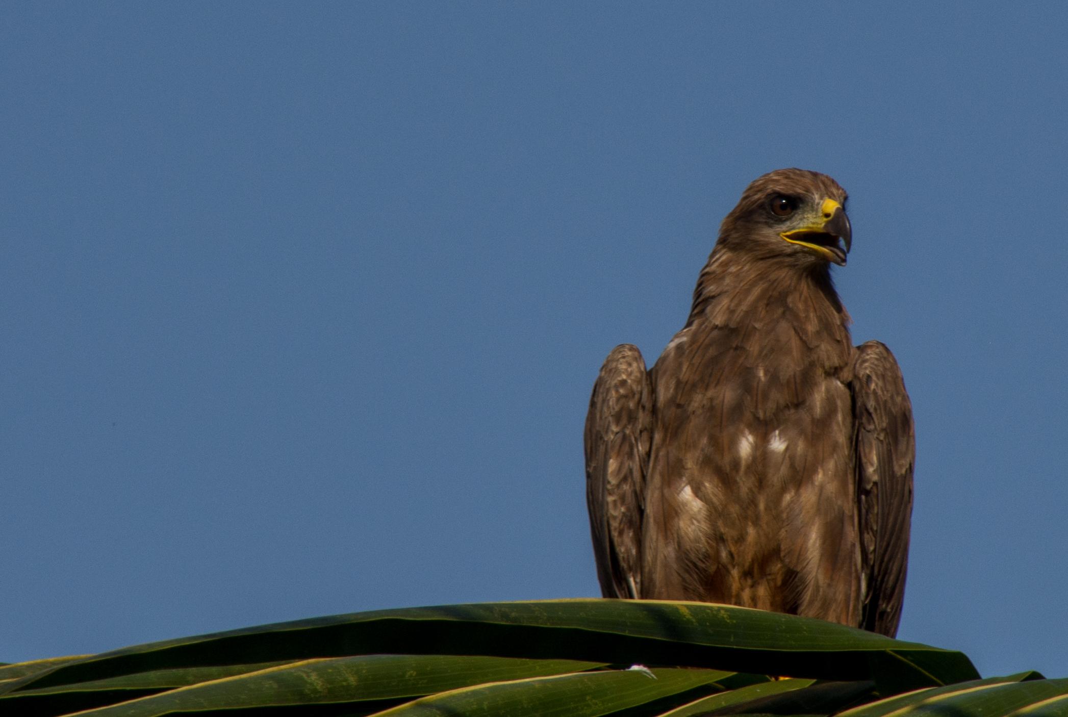Αφρικανική πουλί βίντεο