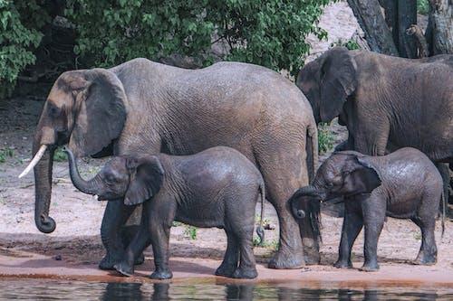 アフリカゾウ, カーフ, サファリの無料の写真素材