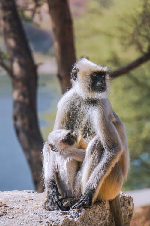 インド, モンキー, 動物の無料の写真素材