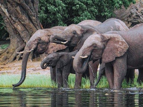 アフリカゾウ, サファリ, チョベの無料の写真素材