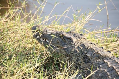 Free stock photo of african wildlife, crocodile