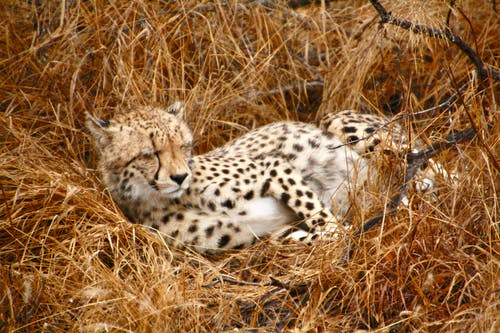 Free stock photo of africa, animals in the wild, cheetah