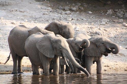 Group of Elephants on Mud