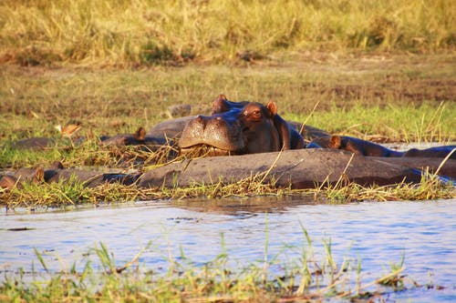 Free stock photo of africa, animals in the wild, hippo