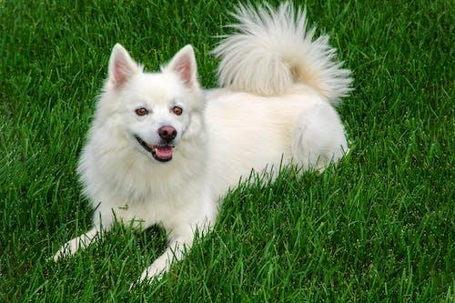 White Pomeranian on Green Grass Field