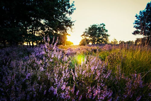 Purple Lavender on Field during Sunset