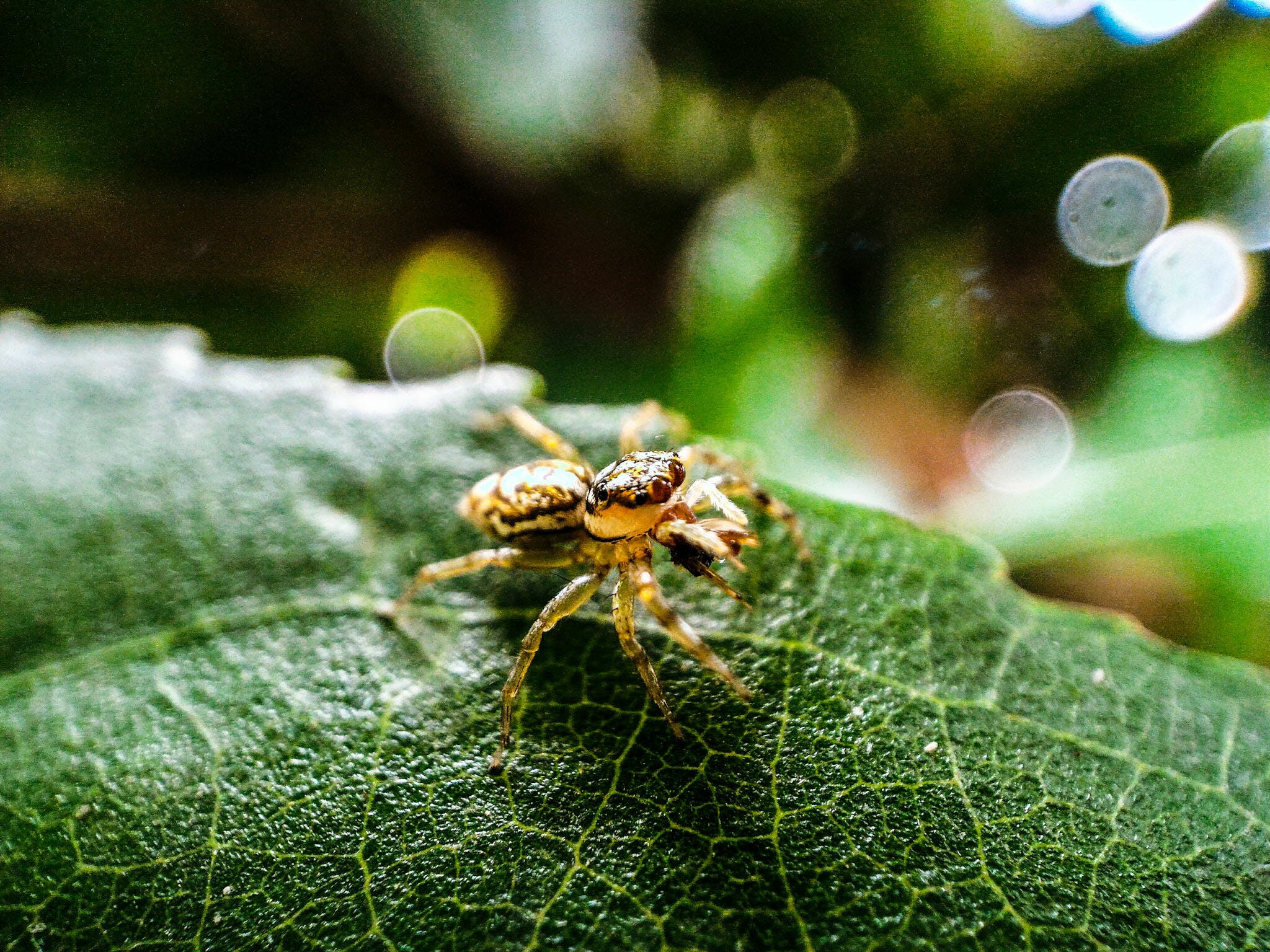 Macro Photography of Brown Jumping Spider on Green Leaf