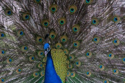 Close-Up Shot of Dancing Peacock