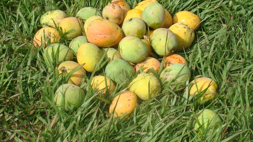 Free stock photo of african mangoes
