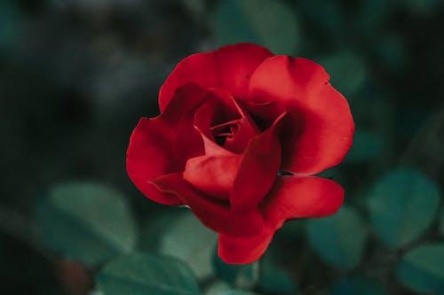 Macro Shot of a Red Rose in Bloom