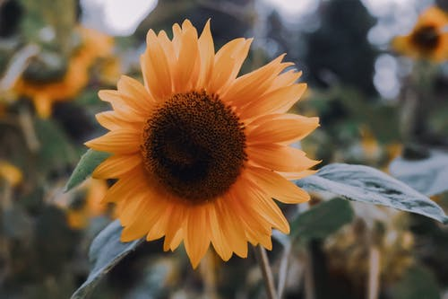 Close-Up Shot of a Blooming Sunflower