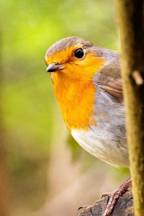 Macro Shot of a European Robin Perched on a Tree Branch