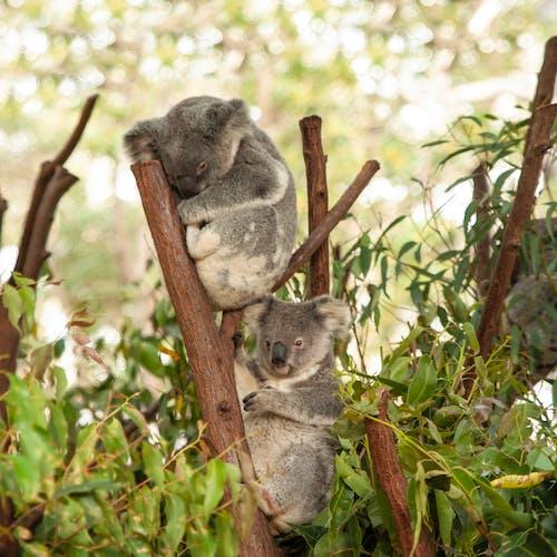 Koalas Resting on a Tree Branch