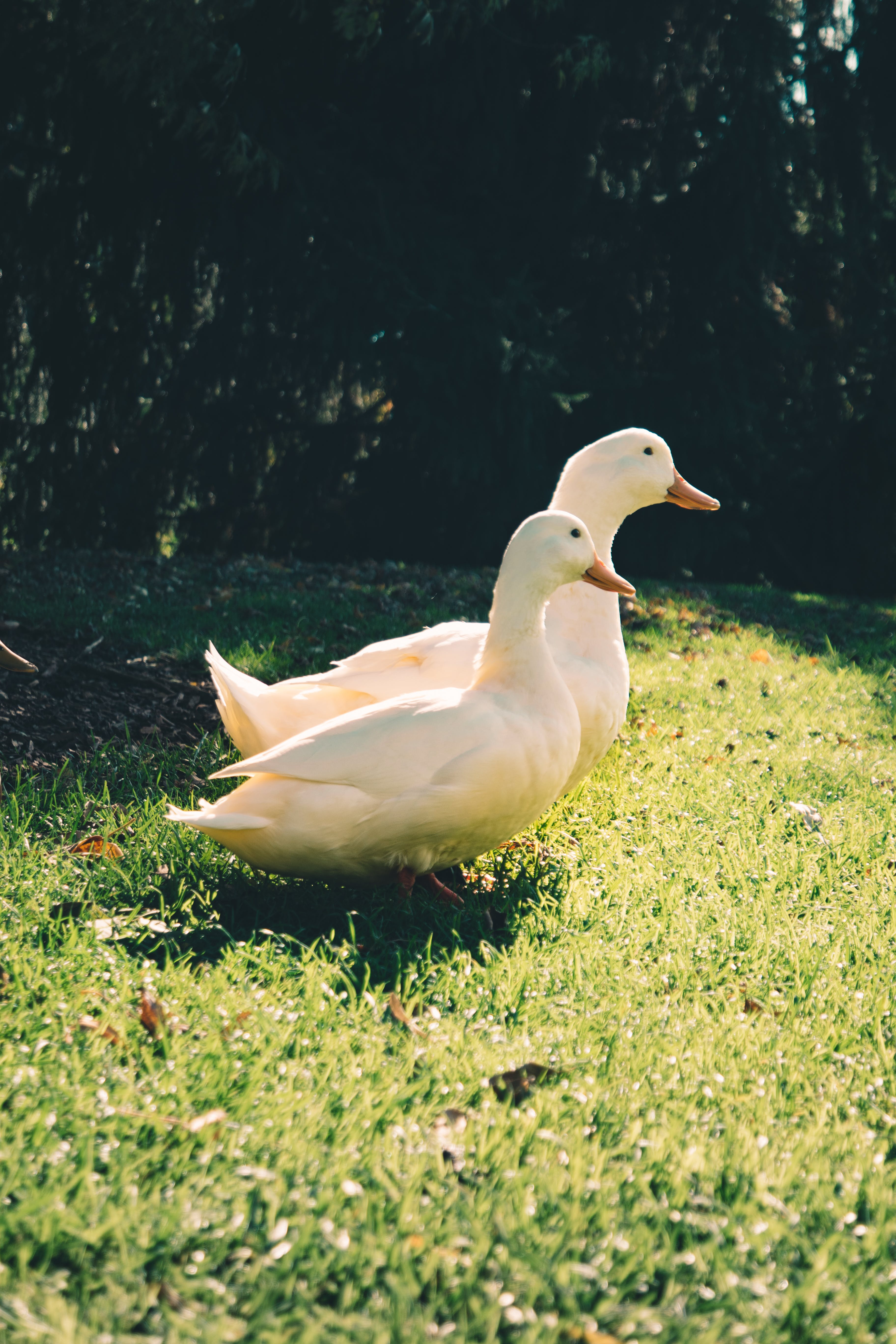 Two White Ducks on Green Grass Field