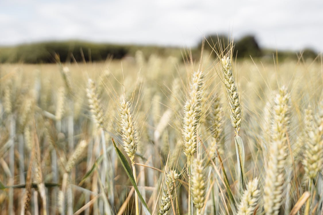 Thin ears of wheat with leaves growing in agricultural field in rural terrain of countryside on blurred background in nature