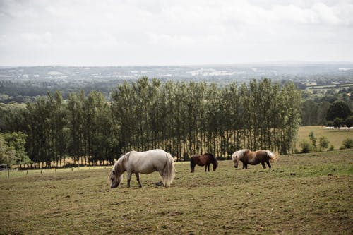 Herd of hairy Shetland ponies grazing on green pasture near green trees against hilly area in suburb area of countryside