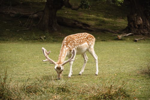 Cute wild brown spotted deer with big antlers pasturing on green grassy ground near trees in nature on summer day