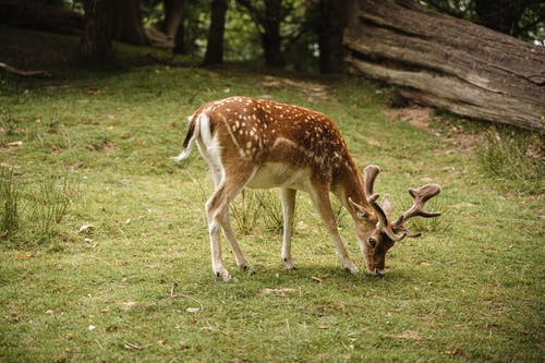 Adorable spotted deer pasturing in nature