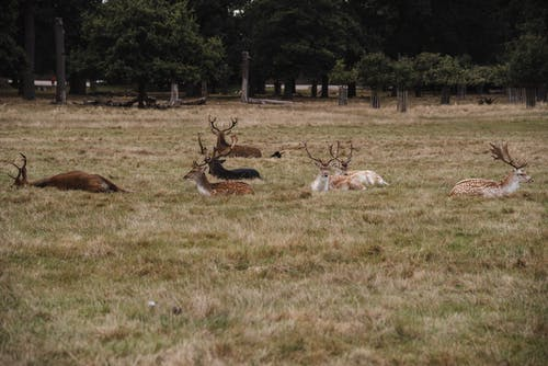 Wild European fallow deer with spots and big antlers lying on green field while grazing in nature with lush trees