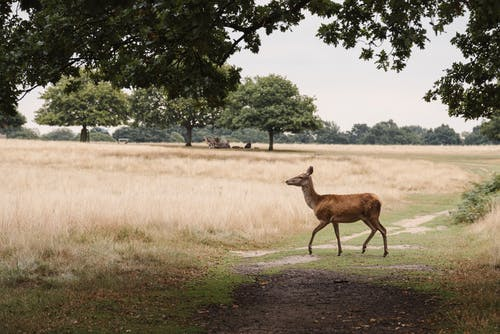 Wild graceful deer with brown fur strolling on grassy terrain while grazing in nature with lush green trees in forest