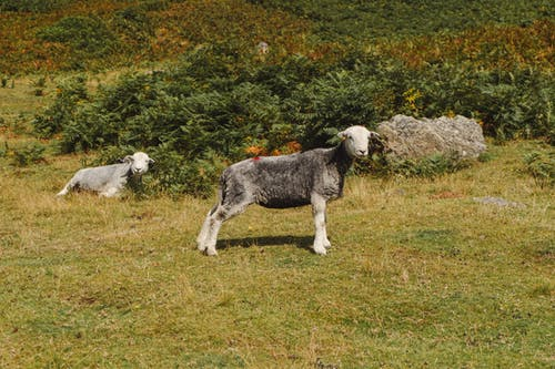 Gray sheep grazing in grassy meadow near bushes on sunny summer day in countryside