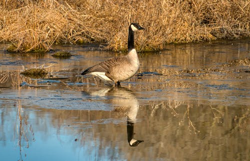 A Goose in the Water