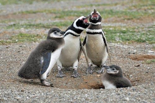 Foto d'estoc gratuïta de aletes, animal, aus marines, bebè