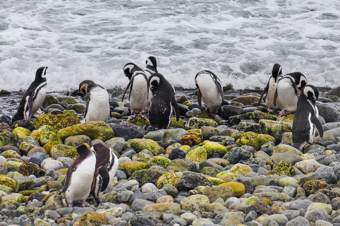 chile, Magellanic, magellanic penguins