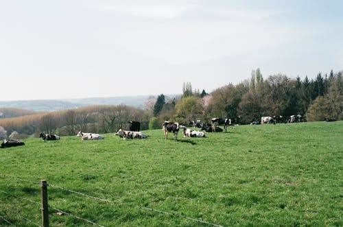 Cows grazing on meadow in countryside