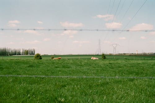 Cows grazing on green grassy meadow against tall trees and power lines in rural area on summer day in nature